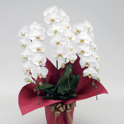 Phalaenopsis (White) [Triple-Stem]